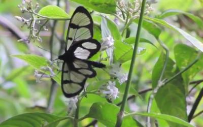 Beautiful Butterflies of Wayqecha