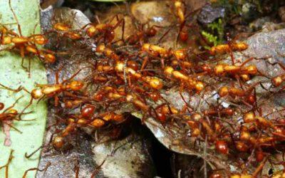 Amazonian Army Ants