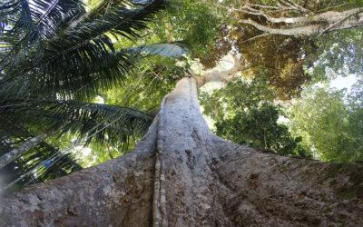 The Ancient Shihuahuaco: the Amazon's tree of life